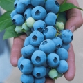 Tall Blueberry Varieties