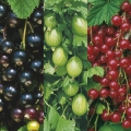 Pot Grown Gooseberries & Currants (Available Now)