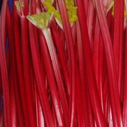Rhubarb 'Raspberry Red'