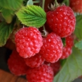 Pot Grown Raspberries - Available Now