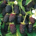 Blackberry 'Silvan'