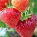 Strawberry 'Sonata' - Pack of 12 (Mid Summer)