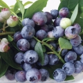 Dwarf Blueberry Varieties