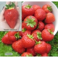 Strawberry Plug Plant Collection (12 plants - 6 each of Sweet Colossus (early) & Finesse (perpetual))