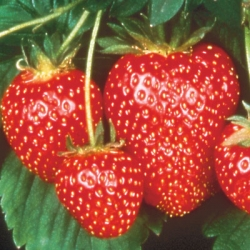 King Sized Pot Grown Strawberry 'Symphony'* - Pack of 6 (Late Summer)