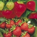 Strawberry Collection E - (12 plants-6 each of Symphony (Late) & Flamenco (Perpetual)