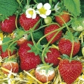 Pot Grown Strawberry 'Tenira' - (6 x 9cm Pots) (Mid Summer)