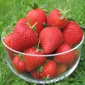 King Sized Pot Grown Strawberry 'Vibrant'* - Pack of 6 (Early)