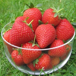 Strawberry 'Vibrant'* - Pack of 12 (Early)