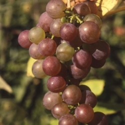 Grape 'Strawberry Vine'