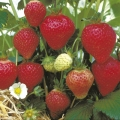 King Sized Pot Grown Strawberry 'Florence'* - Pack of 6 (Late Summer)