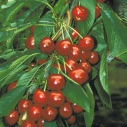 Cherry Tree 'Summer Sun'