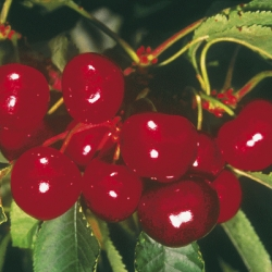 Cherry Tree 'Sunburst'