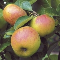 Apple Tree 'Sunset' (Mid season)