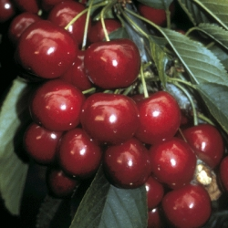 Cherry Tree 'Sweetheart®'*