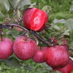 Apple Tree 'Tickled Pink' (Baya® - 'Marisa') (mid/late)