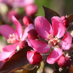Apple Tree 'Tickled Pink' (Baya® - 'Marisa') (mid/late)