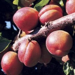 Apricot 'Tomcot®'*