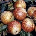 Apple Tree 'Tydeman's Late Orange' (Late)