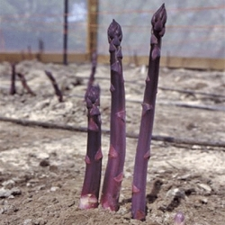 Asparagus 'Pacific Purple' (pack of 10 crowns)