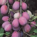 Fan Trained Plum 'Victoria'