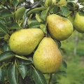 Minarette® Pear 'Williams' Bon Chretien' (Early)