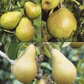 Family Pear 'Williams' Bon Chretien', Comice & Conference'