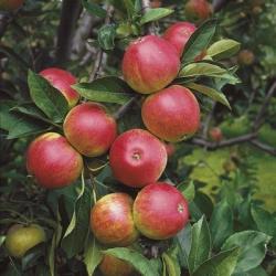 Apple Tree 'Worcester Pearmain' (Early)