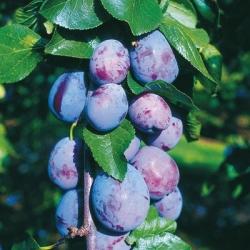 Plum Tree  'Marjorie's Seedling'