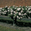 Stepover Trained Fruit Trees