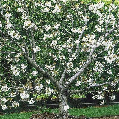 Fan Trained Fruit Tree