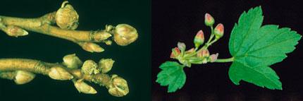 Soft Fruit Pest Amp Diseases